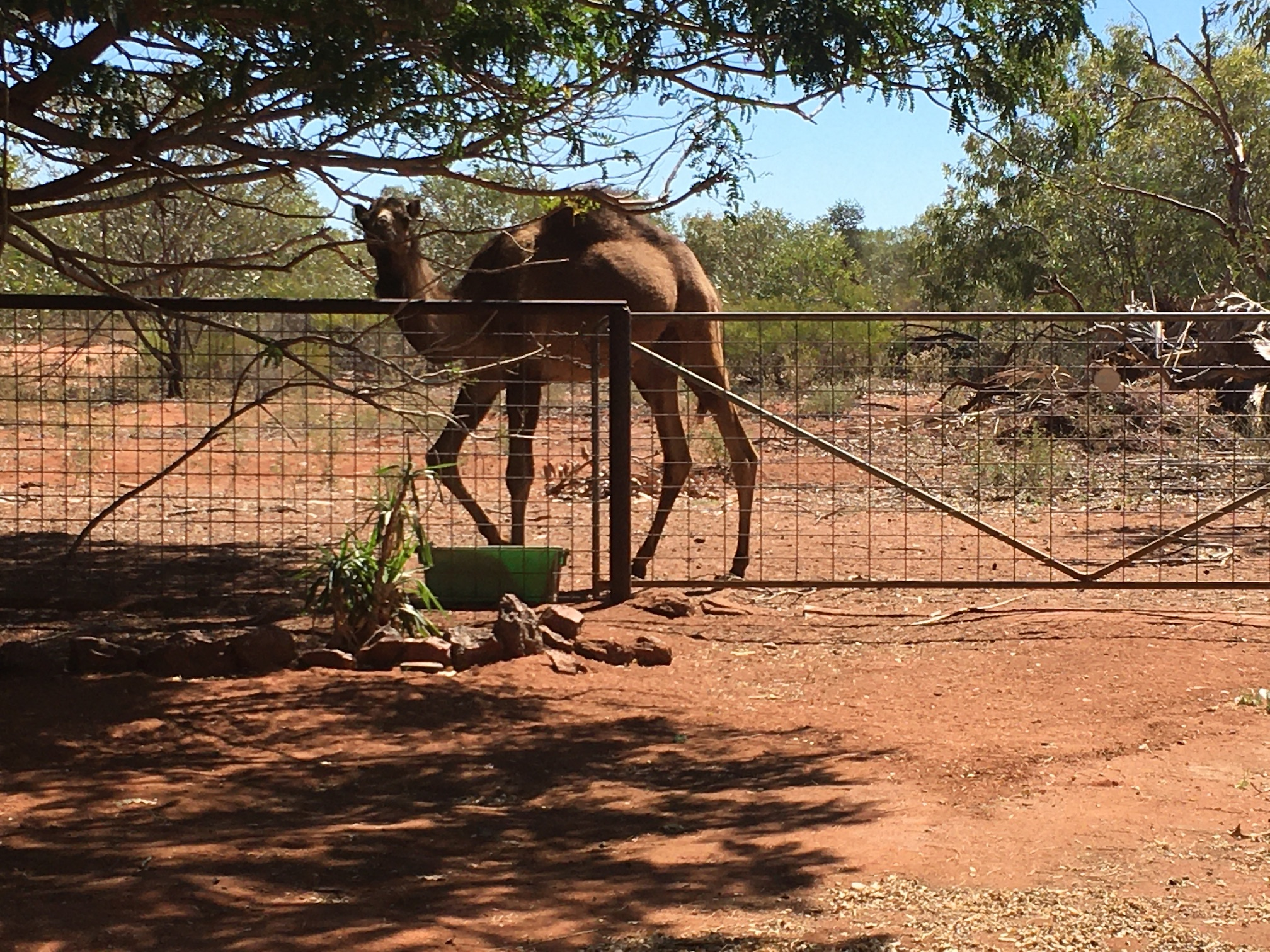 2020-07-31 Camel at Indee station
