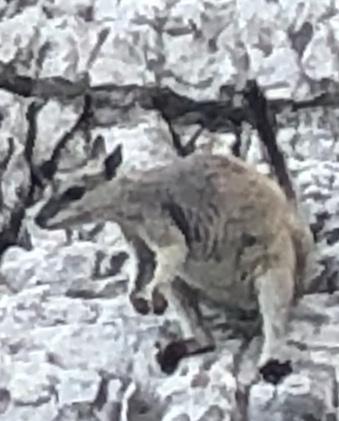 2020-08-13 Lake Argyle rock wallaby