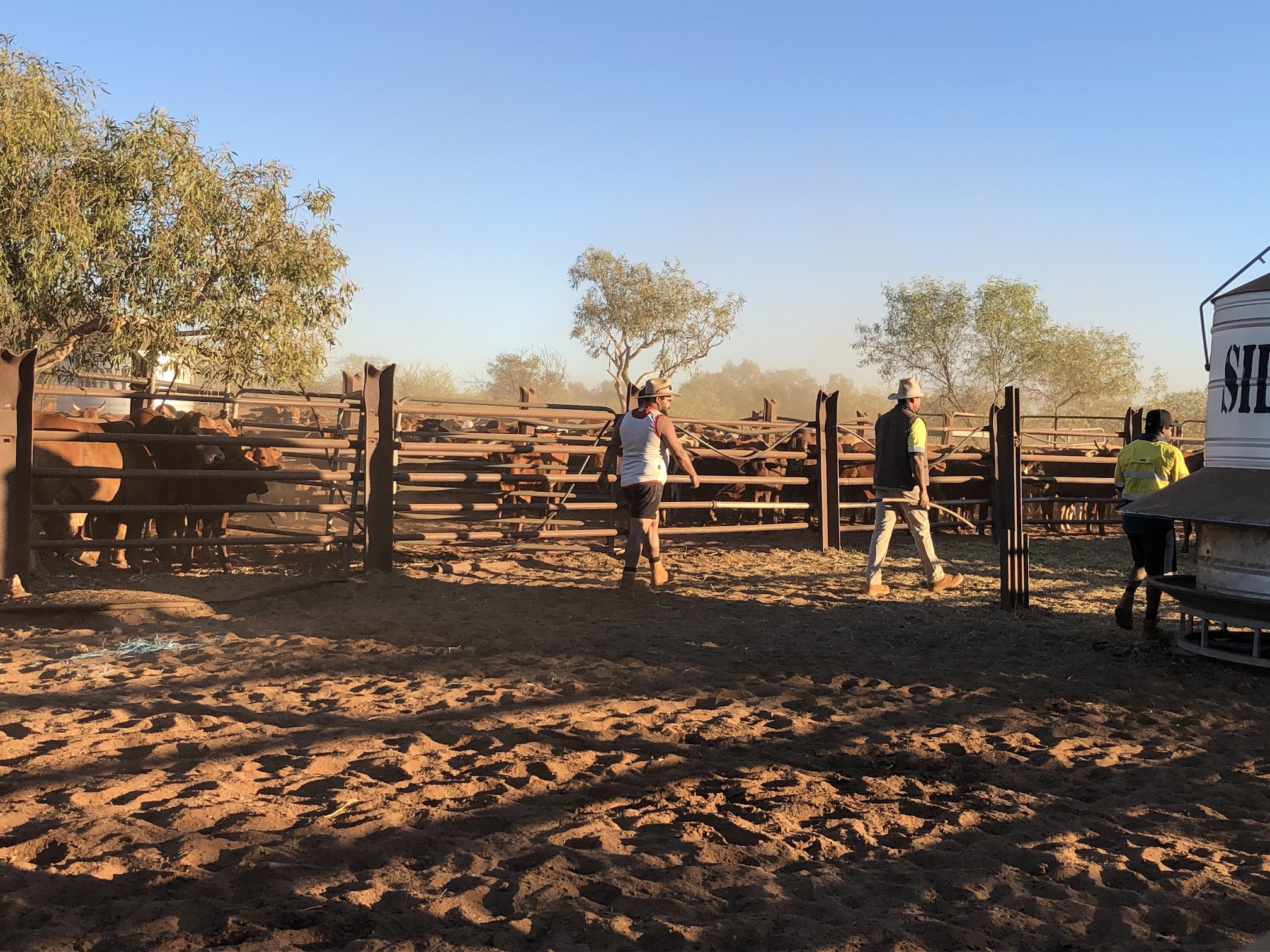 2020-07-31  7.21am Going to sort mustered cattle