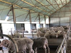 2020-02-29  Sheep at Boonoke station