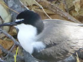2020-11-14  Juvenile Masked Tern on Low Island