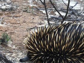 2020-07-01 An adult echidna at Kalbarri