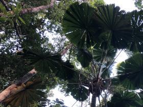2020-10-28 Fan palms in the Daintree